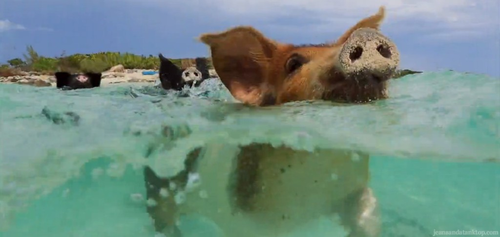 Bachelor pigs swimming Bahamas