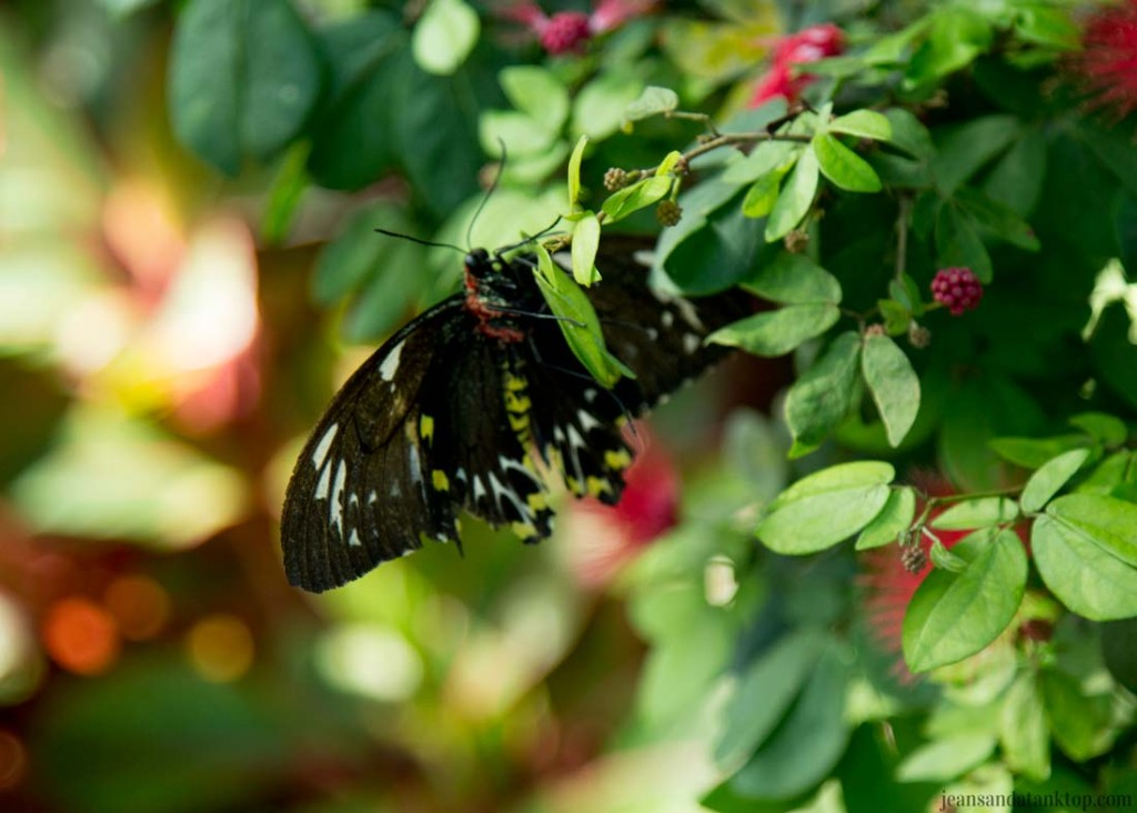Key-West-Butterfly-Conservatory-Longwing
