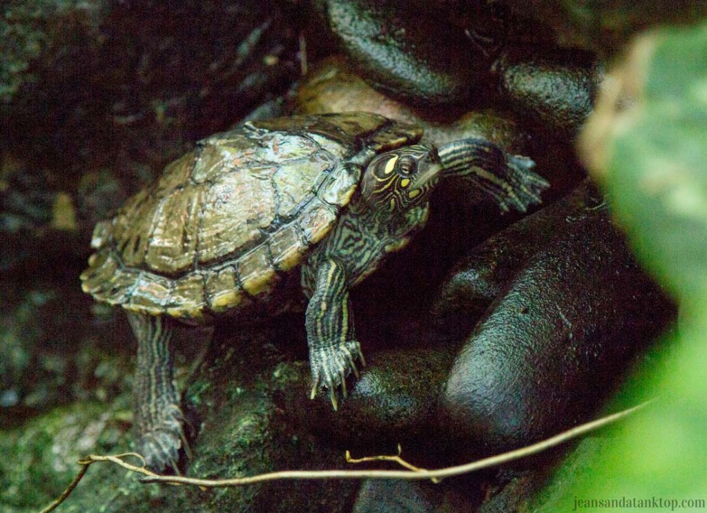 Key-West-Butterfly-Conservatory-Painted-Turtle