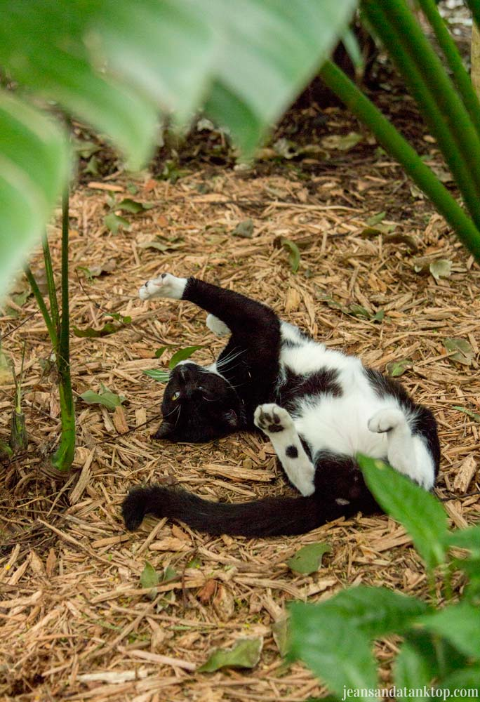 Key-West-Hemingway-House-black-and-white-cat-stretching