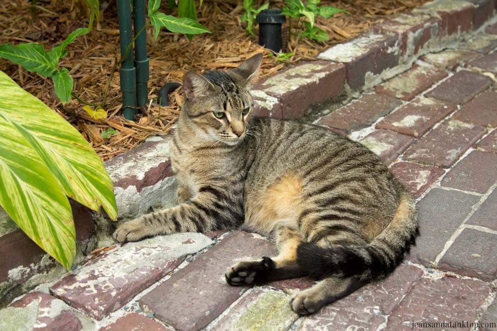 Key-West-Hemingway-House-striped-cat