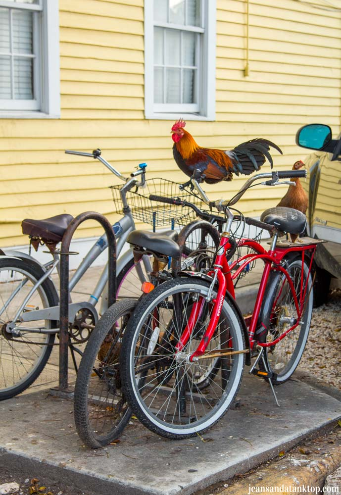 Key-West-Rooster-on-Bicycles-Duval-Street