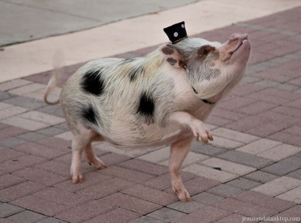 Key-West-Mallory-Square-Snorkel-the-Pig