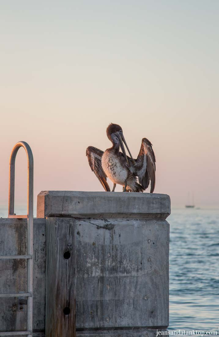 Key-West-Mallory-Square-pelican