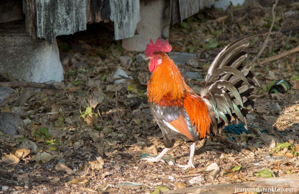 Key-West-Rooster