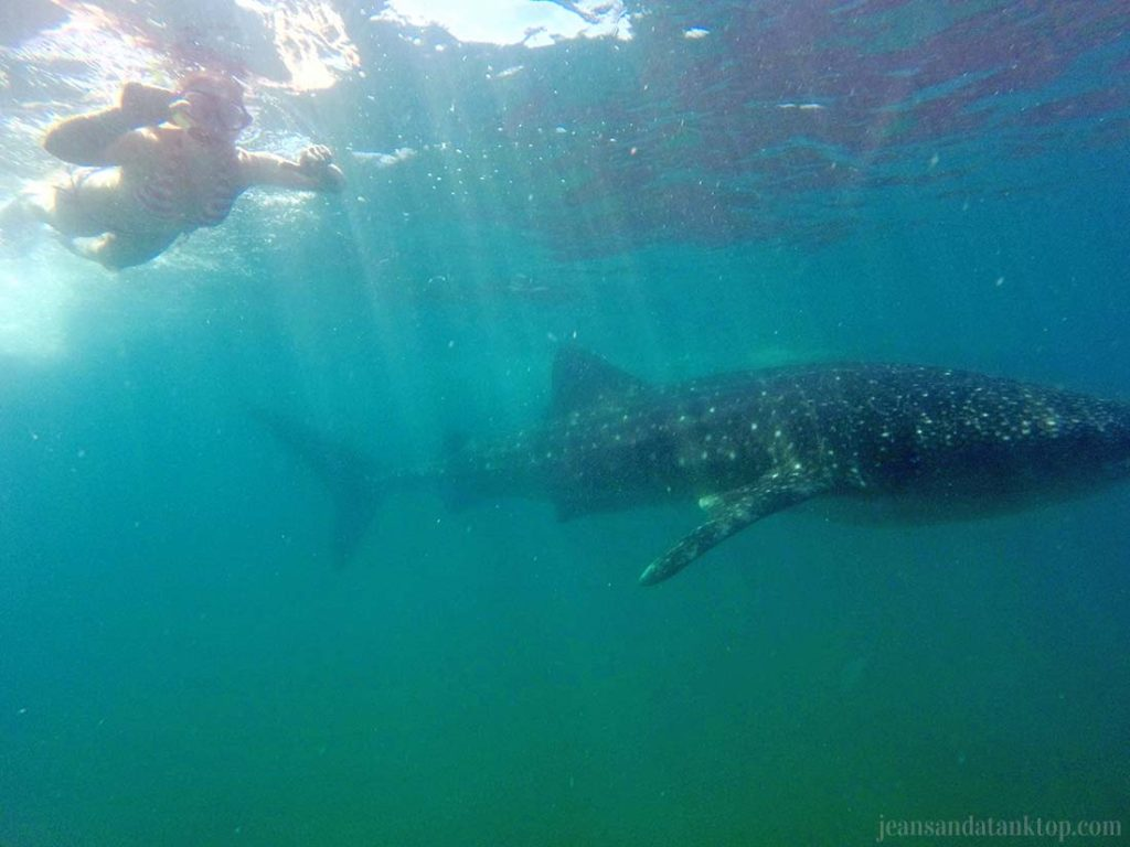 La-Paz-Cabo-Adventures-Whale-Shark-Swimming-4-2-16